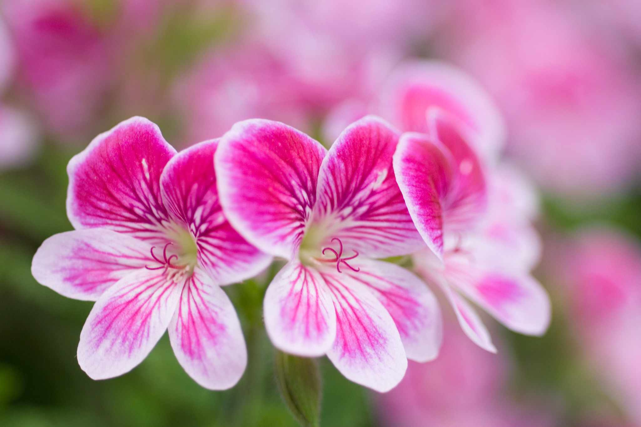 How to take scented-leaf pelargonium cuttings