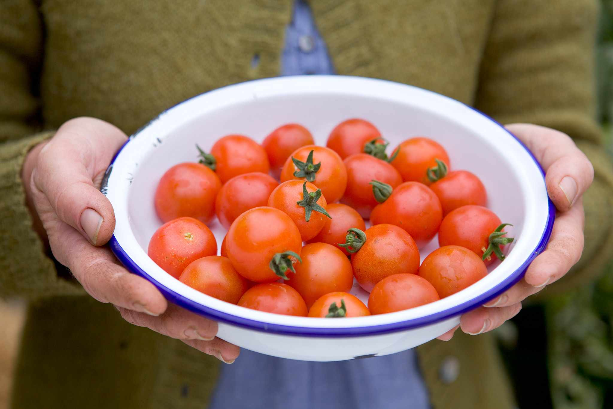 How to grow ring culture tomatoes
