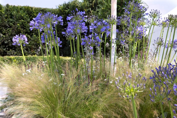 Agapanthus with grasses