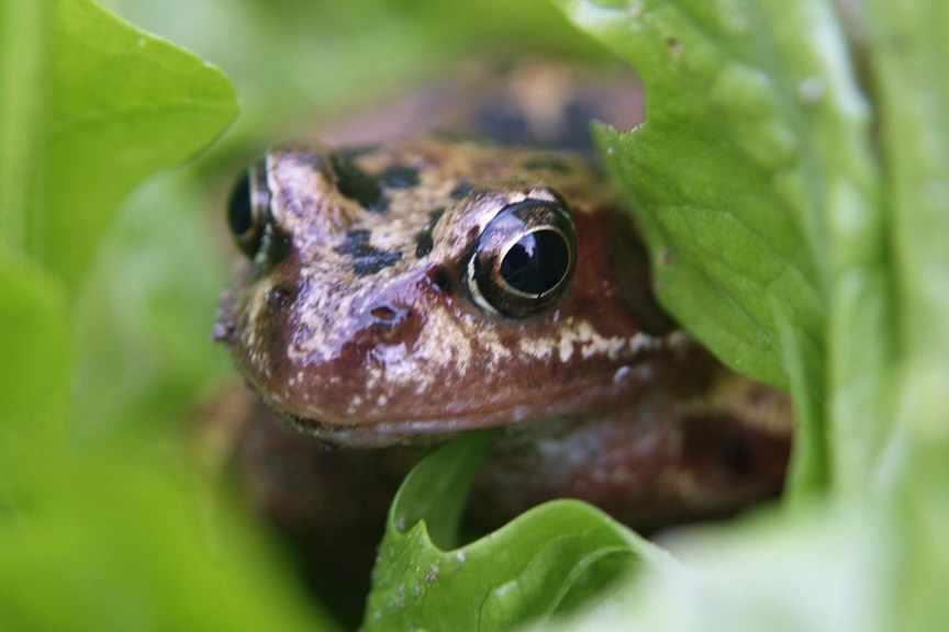 How do I encourage frogs into my pond