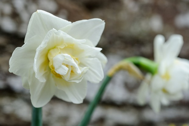 White and yellow, double flowers of Narcissus 'White Lion'