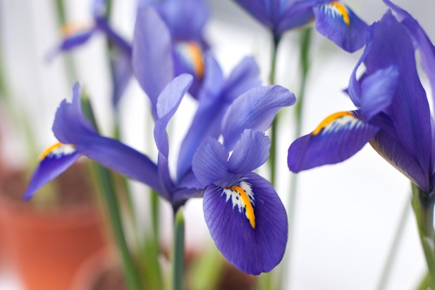 Deep-violet and gold-splashed flowers of Iris reticulata 'Edward'
