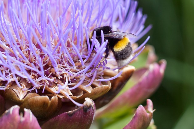 Buff-tailed bumblebee on cardoon flowerhead