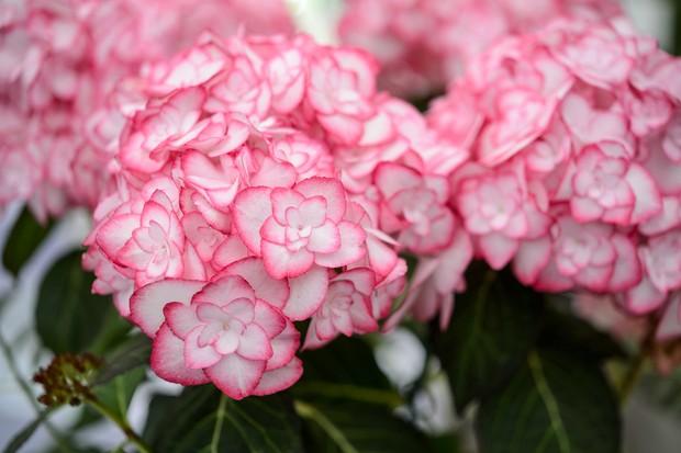 hydrangea-macrophylla-miss-saori-2
