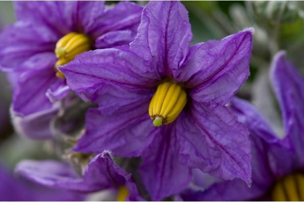 aubergine-flowers-2