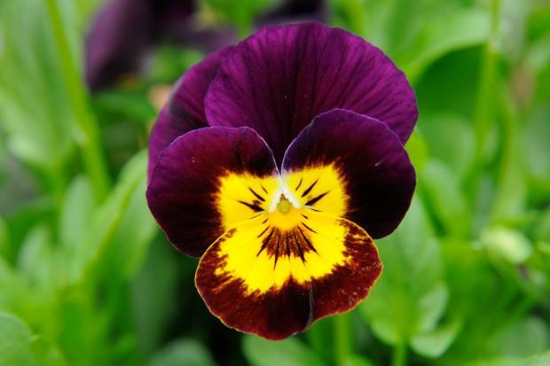 viola-sorbet-ruby-gold-babyface-3