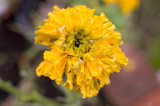Holes in and slug trails on a marigold flower