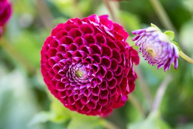 Purple-red pompom-shaped flowers of Dahlia 'Cornel'