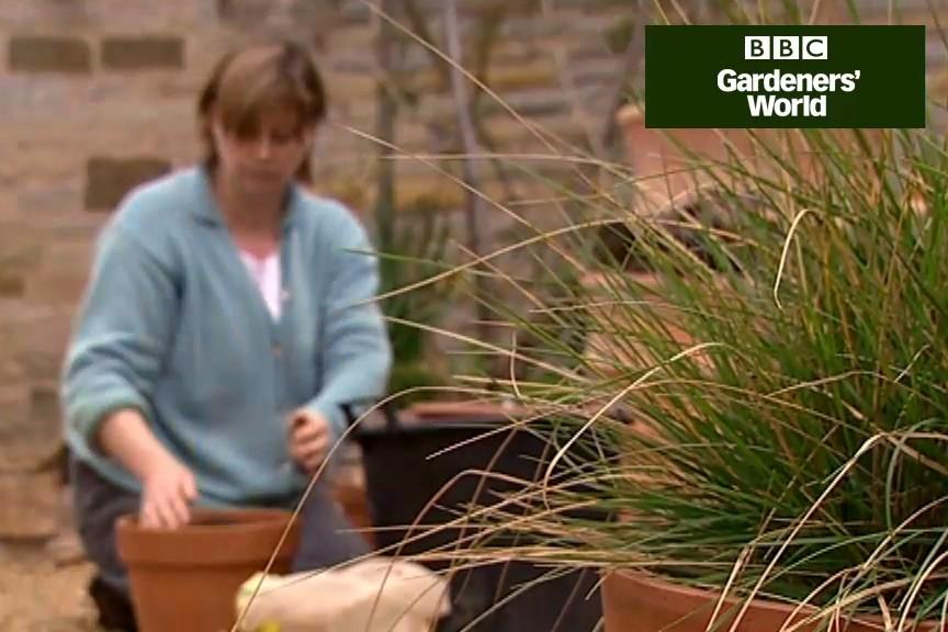 How to plant eucomis bulbs video