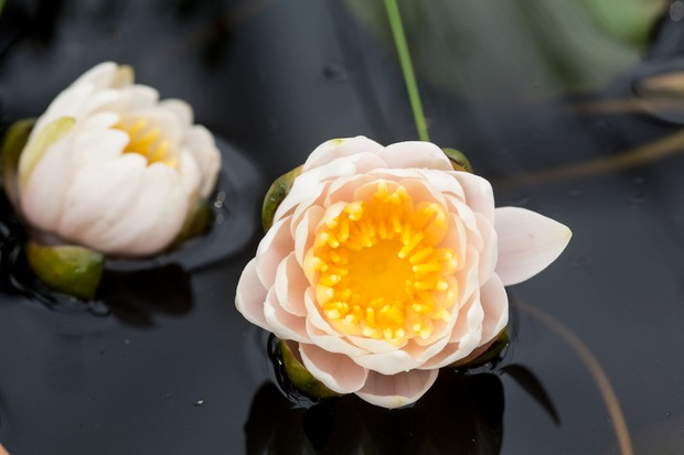 Ivory flowers of dwarf waterlily 'Walter Pagels'