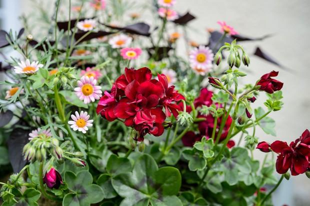 argyranthemum-and-pelargonium-bedding-plant-hanging-basket-2