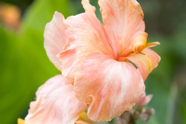 canna-virus-on-flower-2