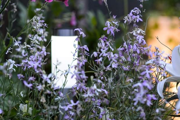 night-scented-stock-matthiola-longipetala-2