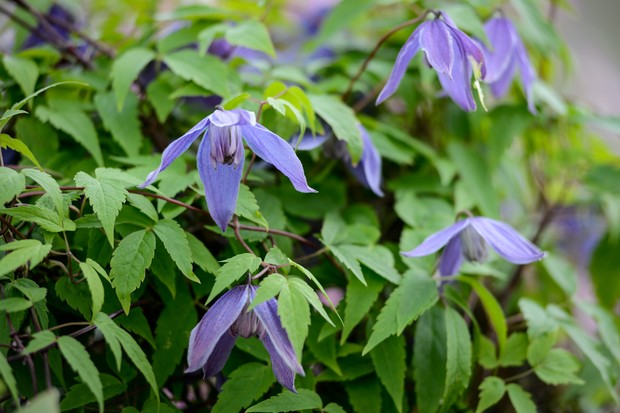 Long-petalled, violet-blue flowers of Clematis alpina