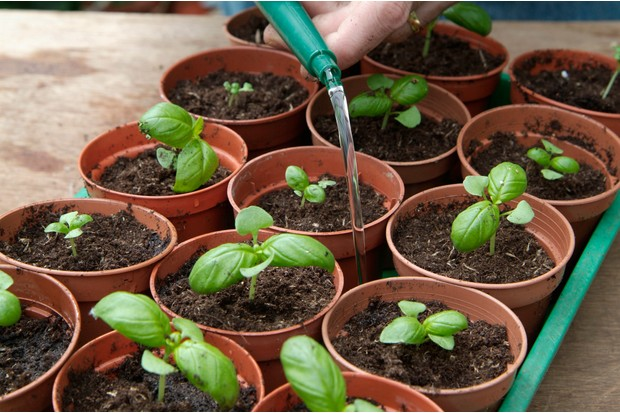 How to grow herbs from seed discs - watering your seedlings