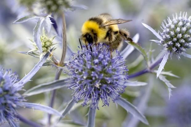 A bee on a blue flowerhead of a spiky sea holly
