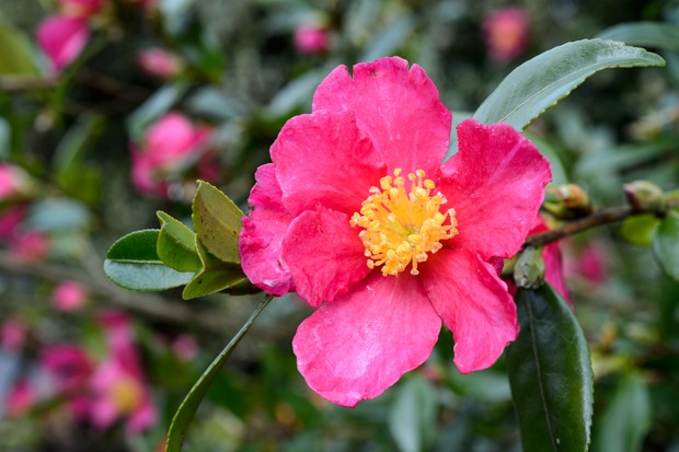 A pink camellia bloom