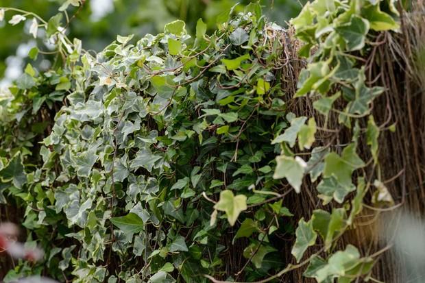 ivy-7