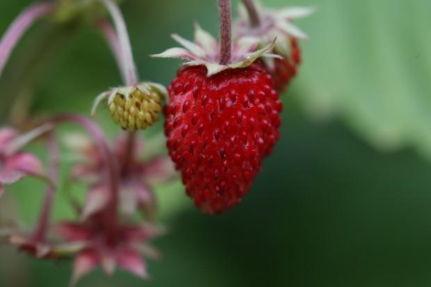 Small alpine strawberry fruit ripening