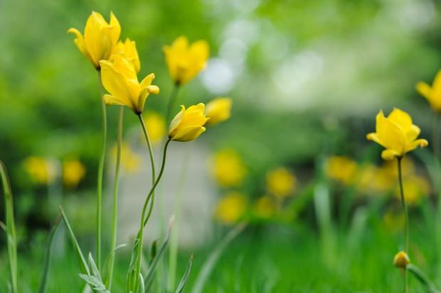 Small, yellow flowers of Tulipa sylvestris