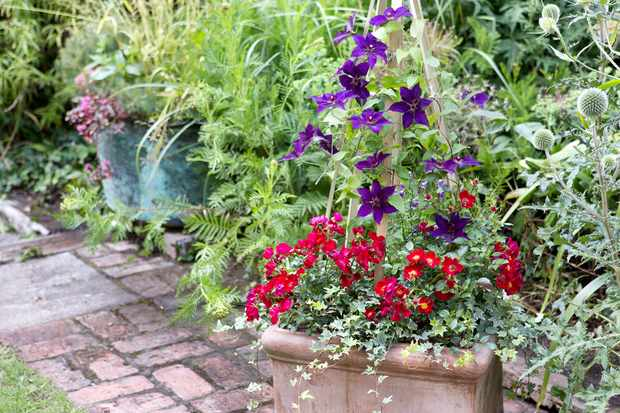patio-rose-and-purple-clematis-container-2