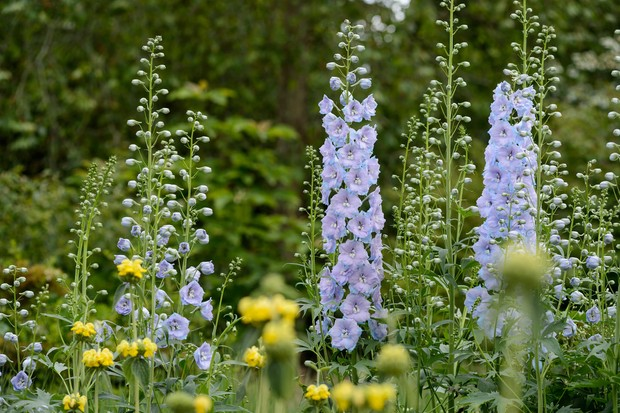 delphinium-fanfare-with-phlomis-in-the-foreground-2