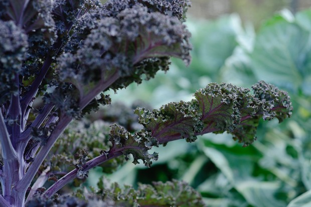 A red kale plant