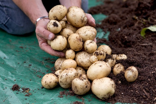 Harvesting home-grown potatoes