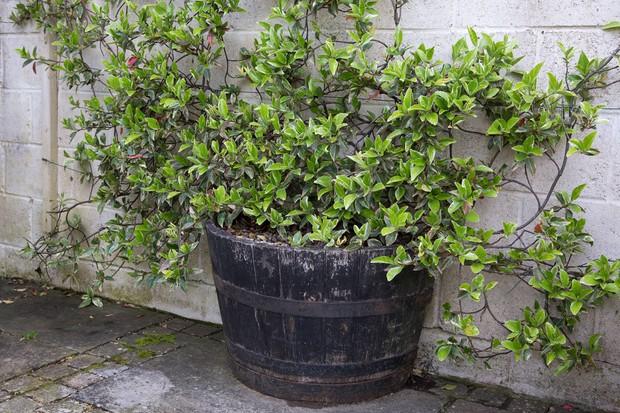 trachelospermum-jasminoides-9