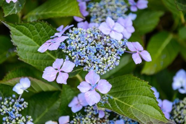 hydrangea-serrata-bluebird-6