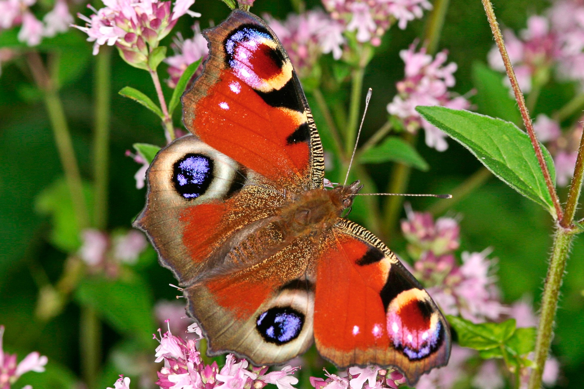 Peacock butterfly. Credit: Butterfly Conservation www.butterfly-conservation.org