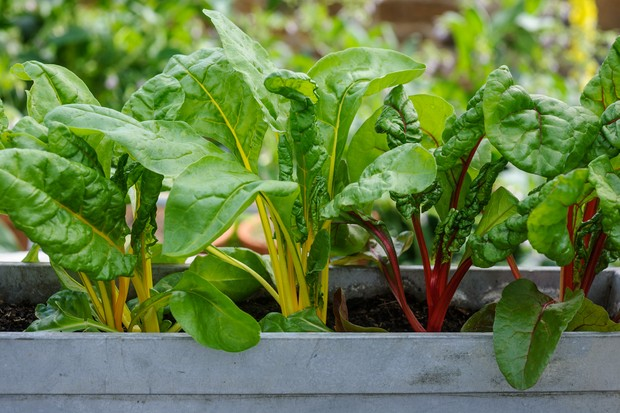 rainbow-chard-in-a-pot-2