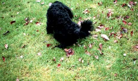 A dog urinating on a lawn