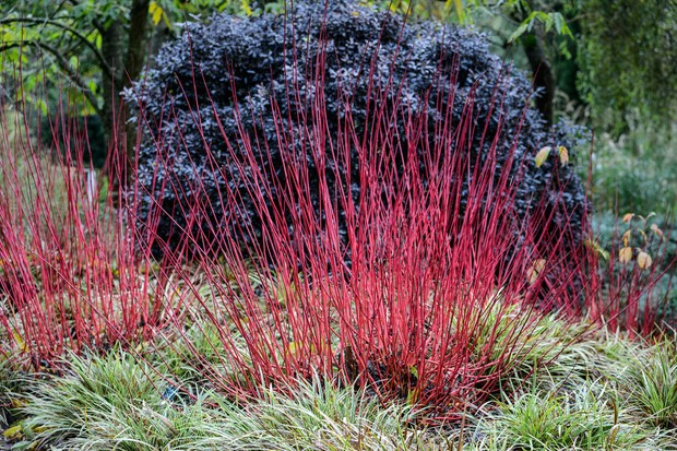Red dogwood stems planted in front of dark, evergreen pittosporum foliage and underplanted with variegated carex