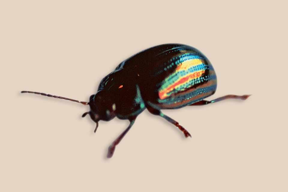 A rosemary beetle