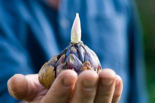 lily-bulb-3