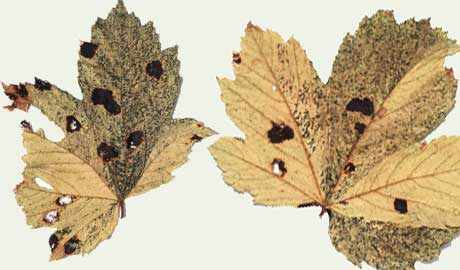 Acer leaves with shiny black spots caused by fungal acer tar spot
