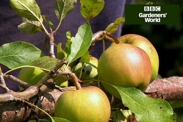 How to prune stepover apples in summer