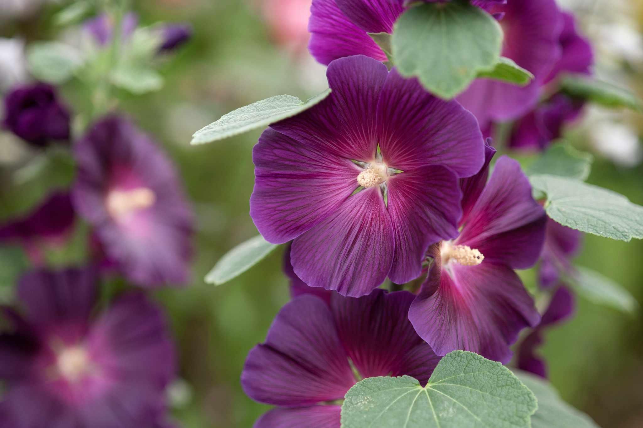 Purple hollyhock