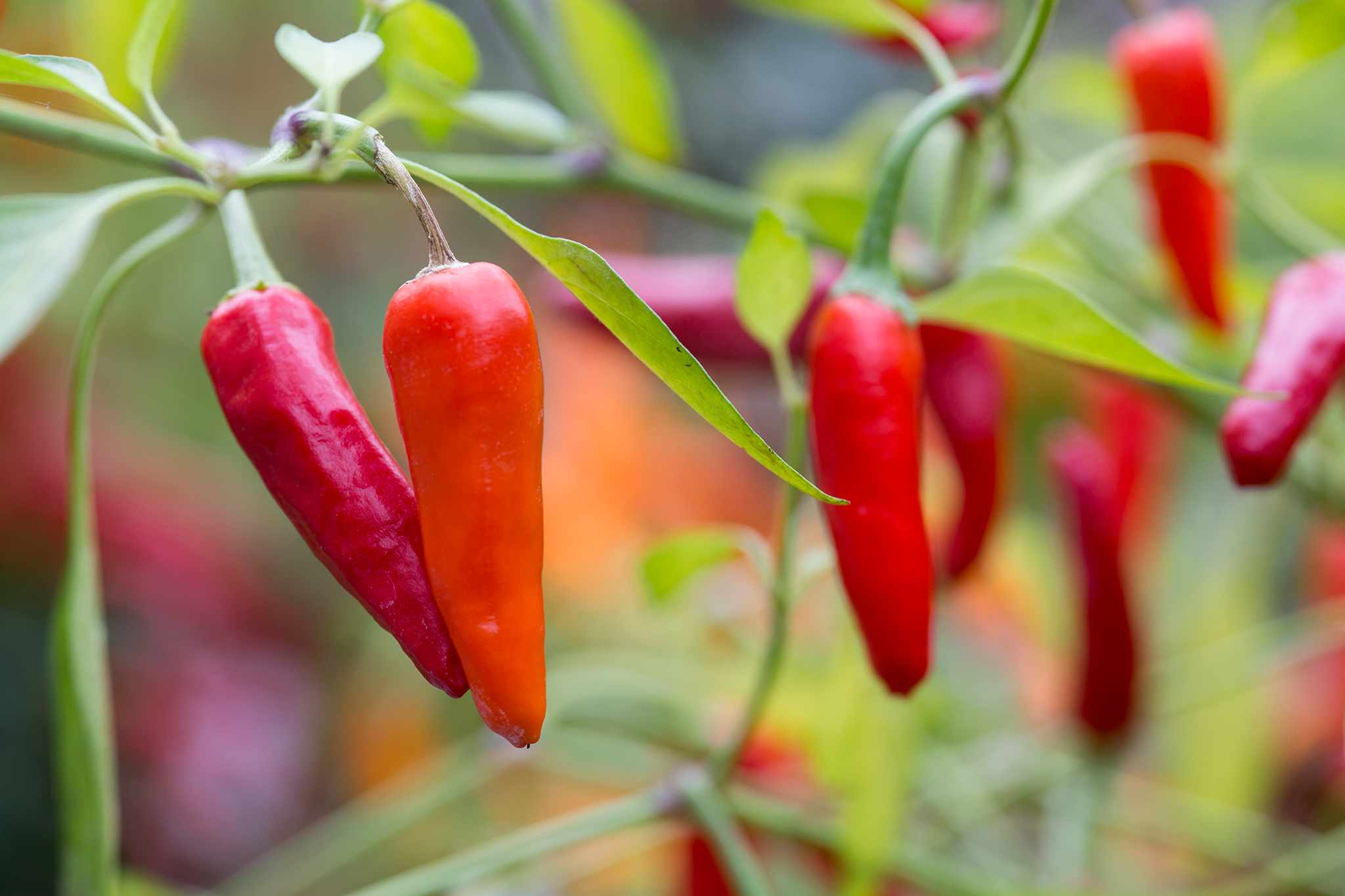 Red chillies on plant