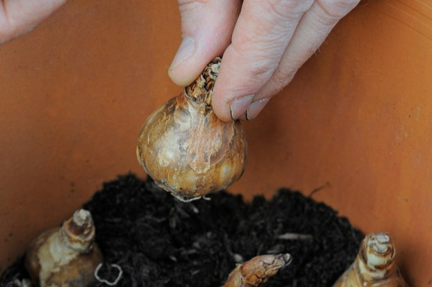 planting-bulbs-on-the-soil-surface-2