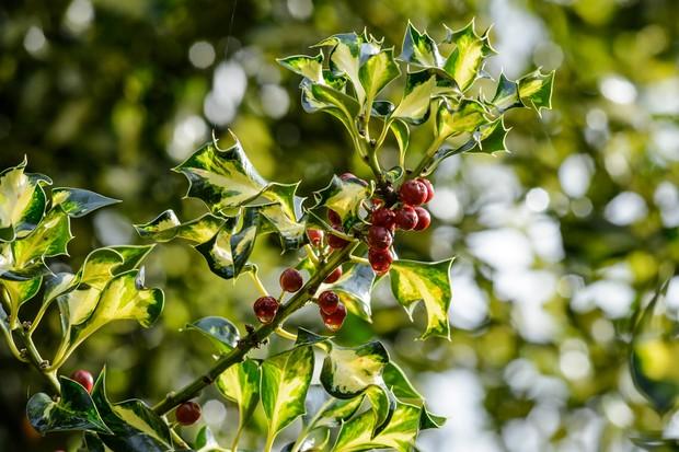 ilex-aquifolium-silver-milkmaid-3