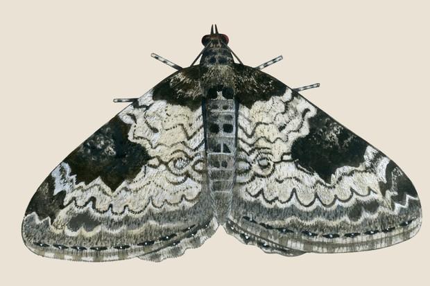 Beige/black/grey patterned carpet moth illustration