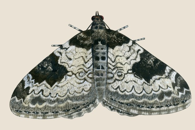 Beige/black/grey patterned carpet moth illustration