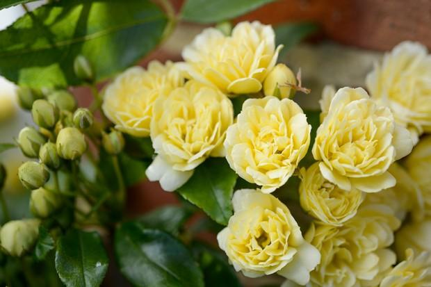 Lemon flowers of Rosa banksiae 'Lutea'