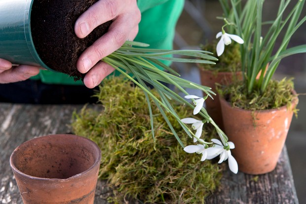 removing-snowdrops-from-their-pots-2