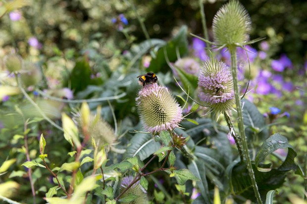 bumblebee-collecting-food-from-teasel-2