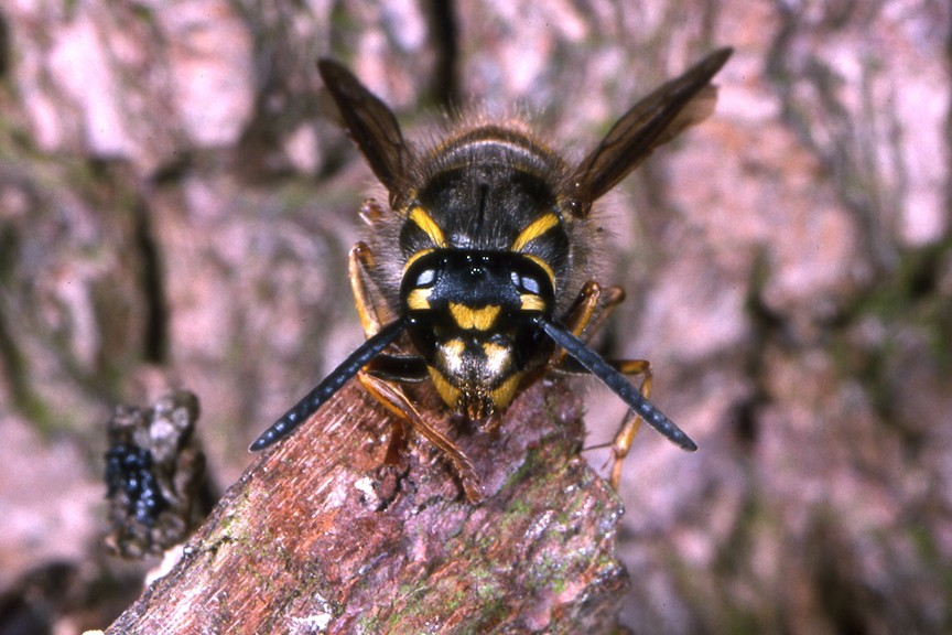 Quick Tips Why do wasp numbers vary so much from year to year