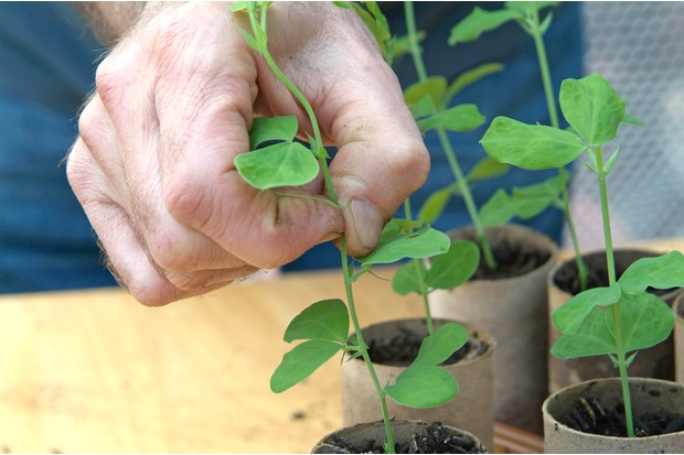 Sowing sweet peas - pinching out the shoots