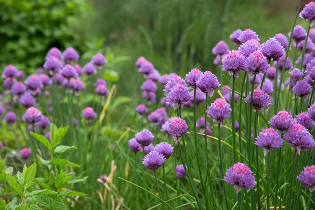 Purple-pink chive flowers